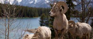 Mouflons dans le Banff National Park, Alberta.