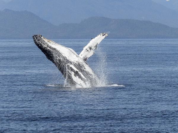 Baleine à bosse, spectacle de la nature, Tadoussac, Québec, Canada