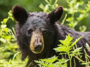 Ours noir, faune, nature, Alberta, Colombie britannique